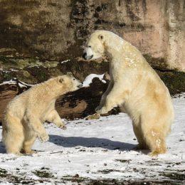 polar-bear-1175481_640